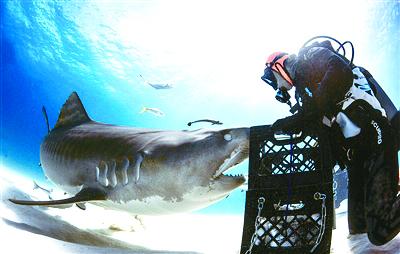 秒变小乖 潜水员给鲨鱼催眠