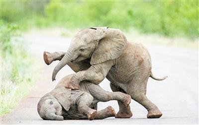 画面超萌  南非两小象在马路上打闹