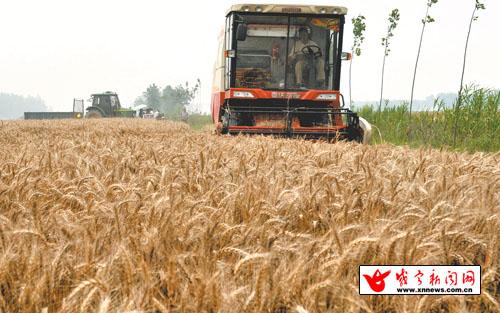 图文:小麦丰收